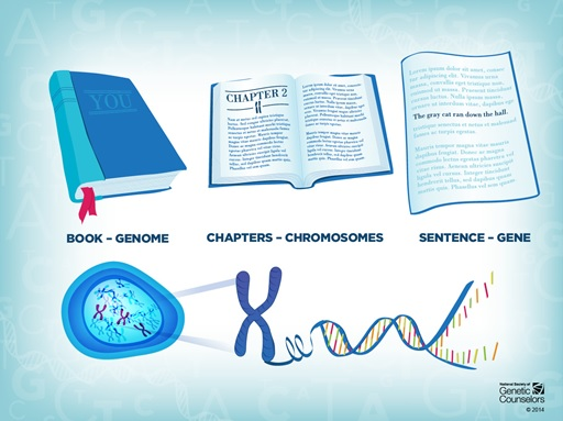 A graphic showing the relationship between a genome, chromosomes and genes in terms of words and chapters in a book. Property of the National Society of Genetic Counsellors